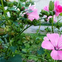 Цветы  в сентябре. Автор Саша. :: Фотогруппа Весна.