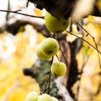 яблочки в заброшенном саду :: Наталья Макарова
