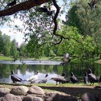 Голуби на пруду :: Сергей