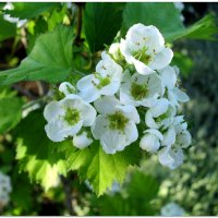 Боярышник в цвету... :: Тамара (st.tamara)