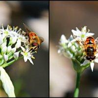 Пчелка :: Маруся Верведа