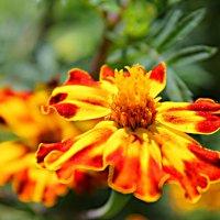 Цветы :: Маруся Верведа