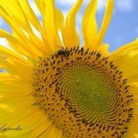 Солнечный цветок. :: Наталья Лысенко