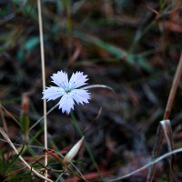дикий цветок :: Alice Madman