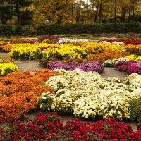 Цветение хризантем :: Андрей Нибылица