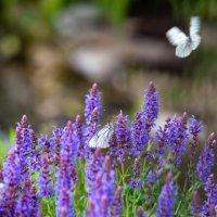 Бабочки :: Сергей Кудрявцев