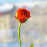 Роза :: Александр Морозов