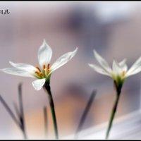 Нежная сила цветка :: Марина Жилина