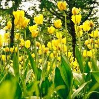 Тюльпаны :: Никита Пшеничников