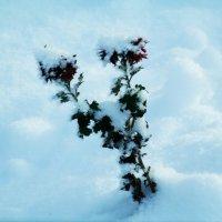 Хризантемы в снегу. :: Ксения Куривчак