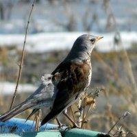 Сурьёзный птиц :: Маргарита Брижан