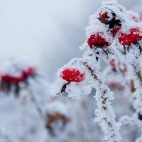 Снежные ягоды :: Дмитрий Долгов