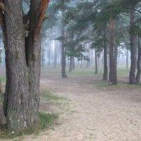Сосны в тумане :: Марина Иванова