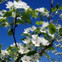 Яблони в цвету :: Сергей Комков