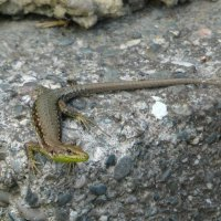 Lizard King :: Маргарита Савинова