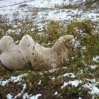 Верблюд на отдыхе :: Марина Marina