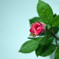 Роза :: Viktor Vishnevskiy