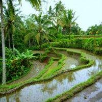 рисовые поля бали :: валерий телепов