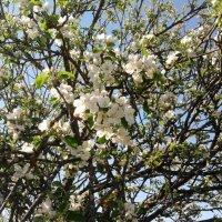 Яблоня в цвету :: Надежда Новикова