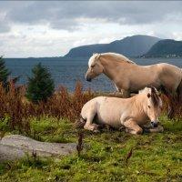 Грустные норвежские лошадки :: Александр Константинов
