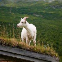 Коза на крыше-сыр на столе :: Александр Константинов