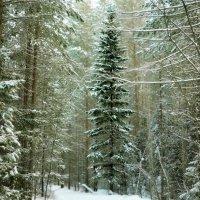 Зима в теплых тонах.Ель :: Сергей Угренев