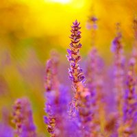 польові квіти :: Александр Элаш