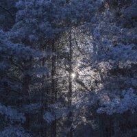 Сосны зимой :: Павел Данилевский