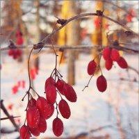 Зимние барбариски :: Лена L.
