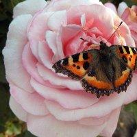 Осенняя бабочка. :: Hаталья Беклова