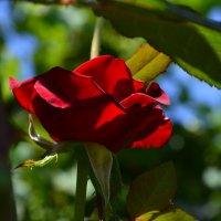 Алая роза :: Полина Гудина