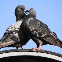 питерские голуби.....любовь :: Михаил Жуковский