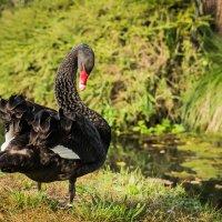 Чёрный лебедь :: Aнатолий Бурденюк