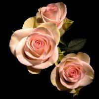 Три розы.. :: анна нестерова