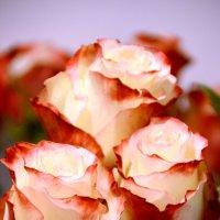 Розы :: Елена Чижова