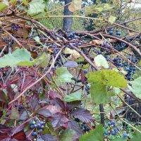 Два винограда :: Galina194701