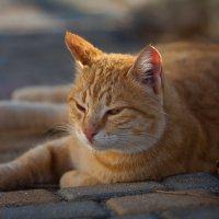Осеннее фото золотого кота :: Олег Левиев
