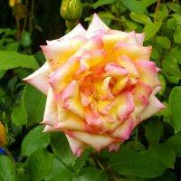 Роза Флорибунда. :: Лия ☼