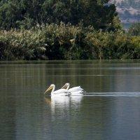 Пеликаны в природе! :: Александр Деревяшкин
