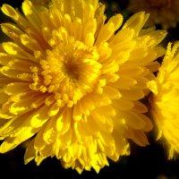 Солнечный цветок :: Виктория Власова