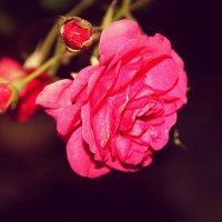 #роза :: Alena Kazanceva