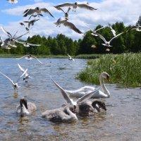 Лебеди :: Ирина Никифорова