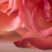 розы :: Анастасия Тихонова