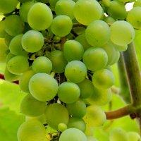 Зреет виноград...московский...)) :: Milocs Морозова Людмила
