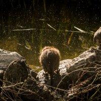 нечто мохнатое вышло из воды,отряхнулось и,так и не обернувшись,скрылось за камнями!!)) :: Вячеслав Дубиковский