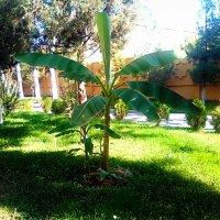 И в Ташкенте бананы растут :: Юрий Владимирович