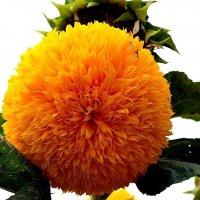 Крымские цветы :: Ирина Фирсова