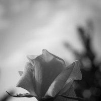 роза :: Денис Сидельников