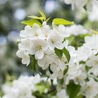 Яблоня в цвету :: Андрей Гриничев