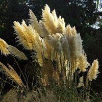 Пампасная трава :: Alexander Andronik